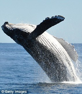 It is unclear exactly why whales breach