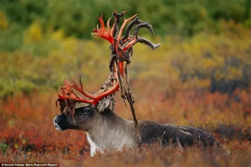 A Caribou bull sheds furry 'velvet' skin from his antlers. Velvet covers antlers while they are growing