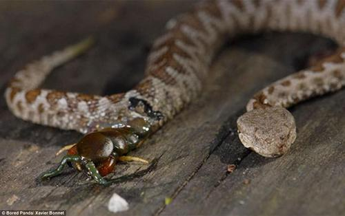 This centipede was devoured by a viper, but fought back by managing to eating its way back out