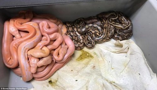 Sss-urprising: These just-hatched pythons instantly divided themselves based on colour