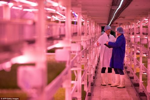 The micro herb broccoli takes between three and five days to grow before being packaged up in the shelter and sent off. Fans enthuse about the intensity of the flavours of the produce
