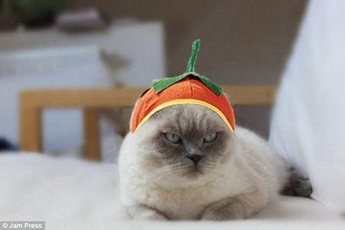 Feline unimpressed? Not everyone harbours an ambition to dress up as a pumpkin
