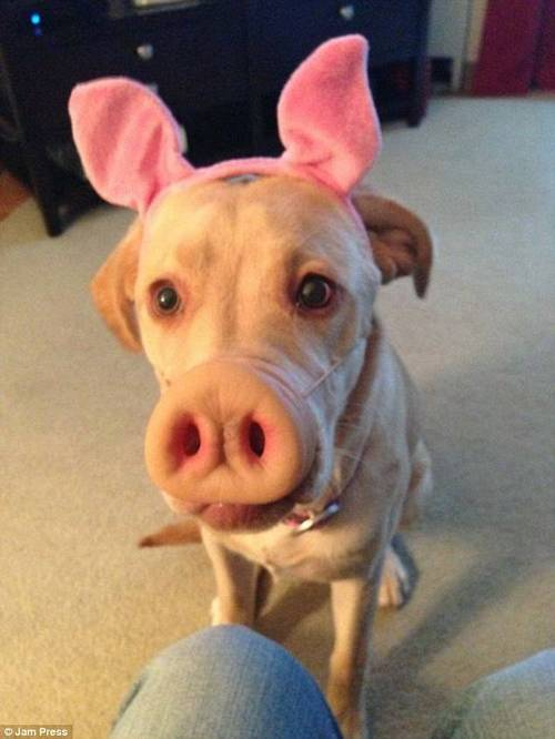 This little piggy... A snout and some ears can provide a surprisingly convincing transformation