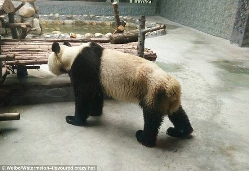 Xi'an Qinling Wildlife Park has confirmed the authenticity of the pictures, but they said Ding Ding had suffered from toothache and had not been able to eat properly for a few days