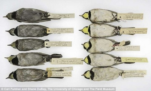 Ten Horned Larks at The Field Museum. The five specimens on the left were collected in Illinois, inside the US Rust Belt. The five specimens on the right were collected along the western coast of North America. All 10 specimens were collected between 1903 and 1922
