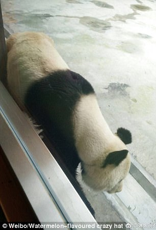 Chinese web users claimed that the skinny panda is Ding Ding, a 20-year-old male bear in Xi'an