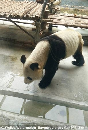 A visitor reportedly spotted the thin panda at the Xi'an Qinling Wildlife Park