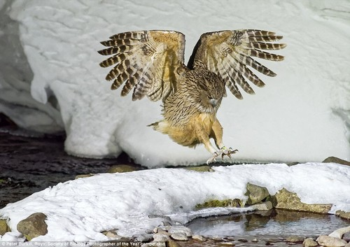Peter Burkill says obtaining this picture of a wild Blakiston's fish owl in Hokkaido, Japan- the largest, and one of the rarest, most endangered, living species of owl - required a combination of 'planning, patience and luck'. He photographed the bird at night in mid-winter using specialised lighting