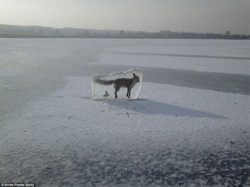 This poor fox drowned in a frozen lake and was cut out and placed on display as a warning for people to keep off the ice