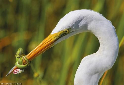 Shut up: A snake shows this white egret who's boss, by tying its beak shut