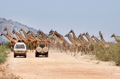 Thirty of the animals casually strolled across the road in Africa after they were seen grazing in the brush in the distance by the tourists