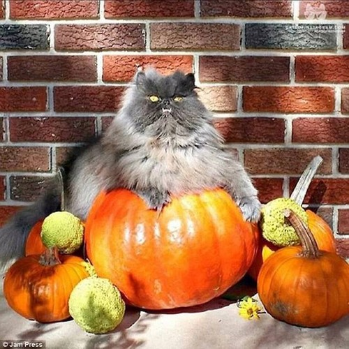 The cat that got the cream! This chubby moggy looks pleased as punch with its pumpkin collection