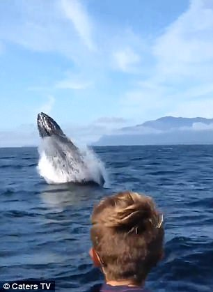 The whale breaching