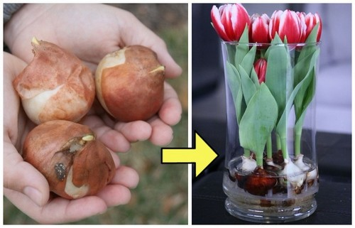 Выращиваем тюльпаны прямо в стеклянной вазе.