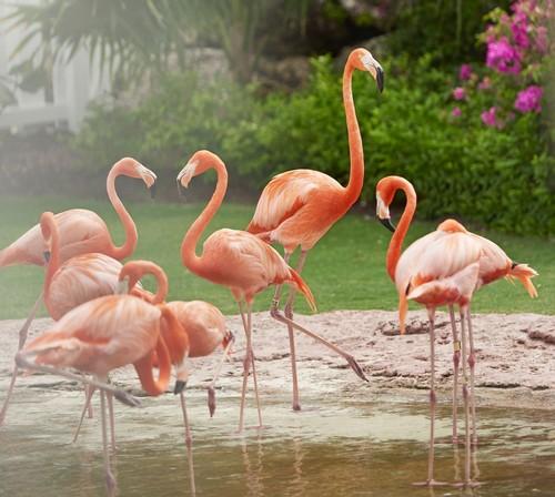 Baha Mar's Flamingo Cay