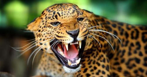 Jaguar Promo