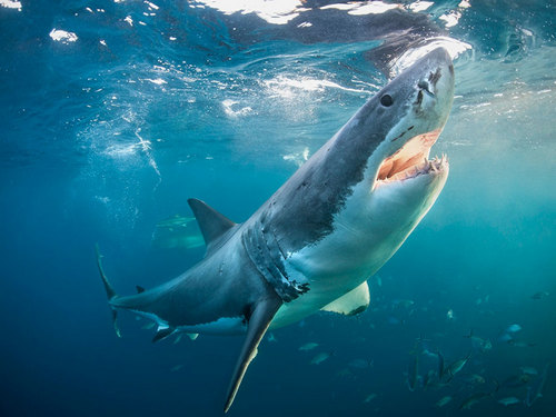 Great White Shark (Photo: Alastair Pollock Photography/Getty)