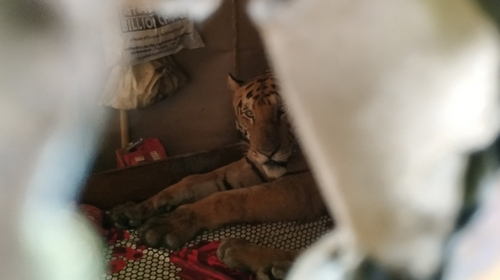 A full-grown Royal Bengal Tiger which took shelter inside a residence in the fringe areas of the national park has been sent back to highlands inside the forest