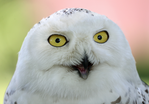 Snowy Owl Becomes Kremlin's Newest Security Recruit